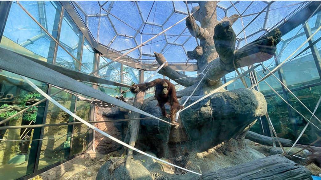 Schauen Sie sich den Orang-Utan an, der unter der transparenten geodätischen ETFE-Kuppel hängt.